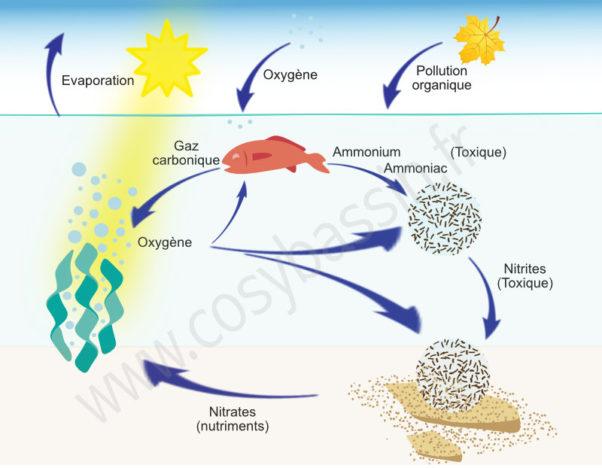 Description du cycle de l'azote dans un écosystème aquatique