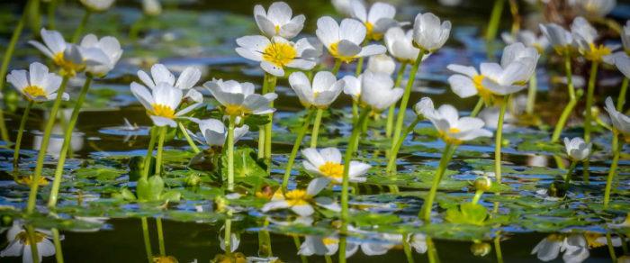 fleurs et feuilles de la plante aquatique oxygénante ranunculus aquatilis